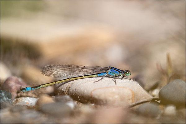 Große Pechlibelle (Ischnura elegans), Deutschland, Baden-Württemberg, Rheinaue
