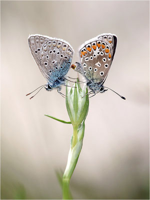 Hauhechel-Bläuling (Polyommatus icarus), Paarung, Frankreich, Ardèche