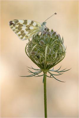 Resedaweißling (Pontia daplidice), Frankreich, Drôme