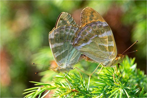 Kaisermantel (Argynnis paphia), Paarung, Schweden, Gotland