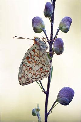 Stiefmütterchen-Perlmutterfalter (Argynnis niobe f. eris), Schweiz, Kanton Bern