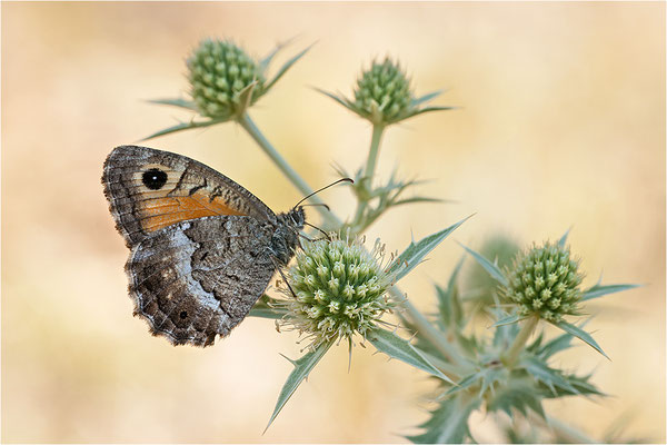 Rotbindiger Samtfalter (Arethusana arethusa), Frankreich, Drôme