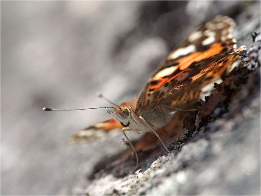 Distelfalter (Vanessa cardui), Schweden, Dalsland