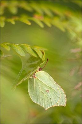 Zitronenfalter (Gonepteryx rhamni), Schweden, Värmland