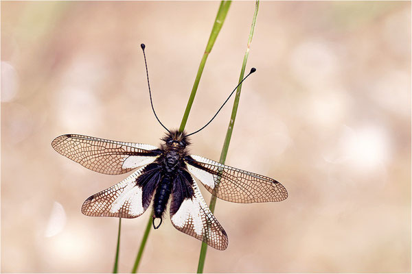 Libellen-Schmetterlingshaft (Libelloides coccajus), weiße Farbvariante, Frankreich, Ardèche