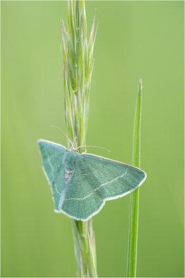 Waldreben-Grünspanner