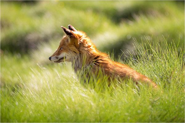 Rotfuchs (Vulpes vulpes), Italien, Region Aostatal, 2200m