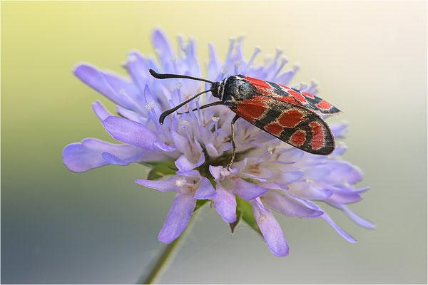 Esparsetten-Widderchen (Zygaena carniolica), Frankreich, Jura