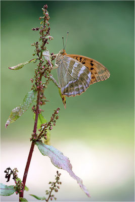 Kaisermantel (Argynnis paphia), Männchen, Deutschland, Baden-Württemberg