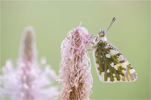 Gesprenkelter Gebirgsweißling (Euchloe simplonia), Männchen, Frankreich, Haute-Alps