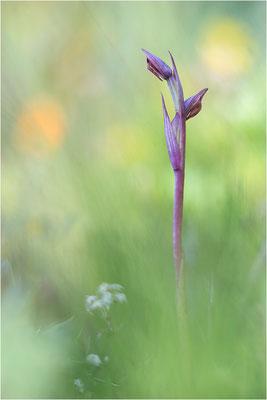 Kleinblütiger Zungenstendel (Serapias parviflora), Korsika