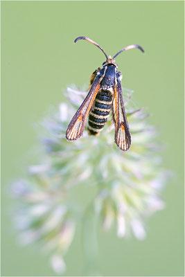 Hornklee-Glasflügler (Bembecia ichneumoniformis), Männchen, Deutschland, Baden-Württemberg