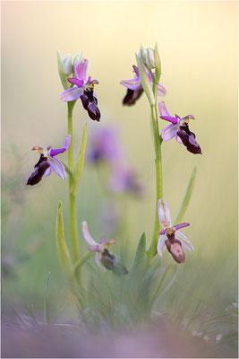 Ophrys drumana, Drôme