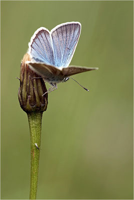 Großer Esparsetten-Bläuling (Polyommatus damon), Männchen, Schweiz, Kanton Bern