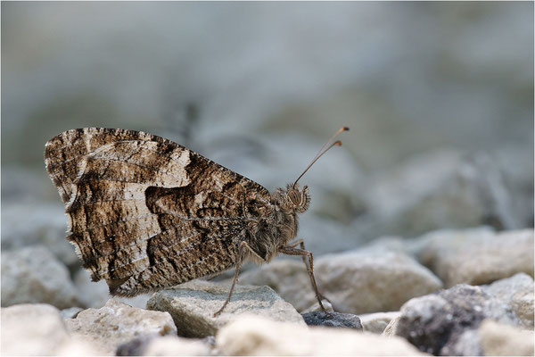 Kleiner Waldportier (Hipparchia alcyone), Frankreich, Drôme