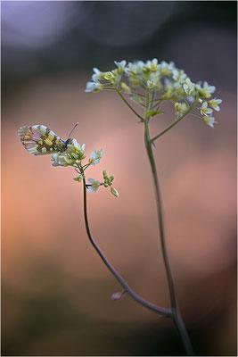 Gelber Aurorafalter (Anthocharis euphenoides), Weibchen, Frankreich, Ardèche