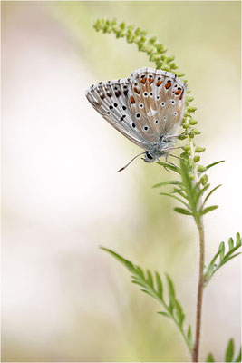 Silbergrüner Bläuling (Polyommatus coridon), Männchen, Frankreich, Drôme