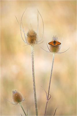 Roter Scheckenfalter (Melitaea didyma), Männchen, Frankreich, Drôme