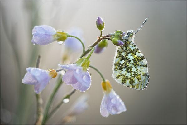Aurorafalter (Anthocharis cardamines), Weibchen, Deutschland, Baden-Württemberg