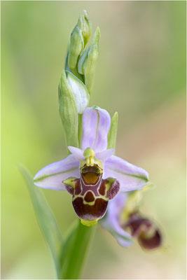 Ophrys scolopax, Plaines-des-Maures, Var
