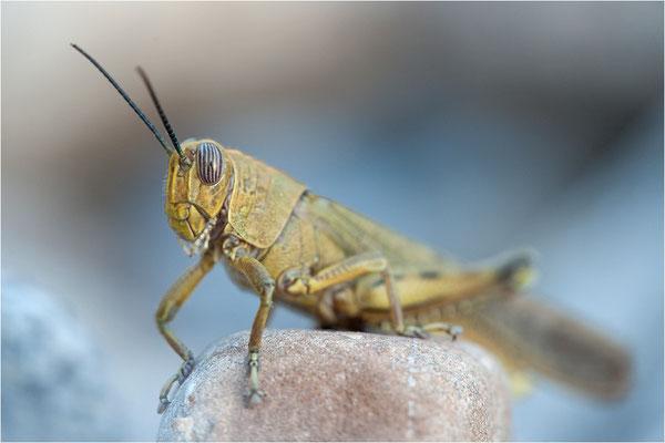 Ägyptische Wanderheuschrecke (Anacridium aegyptium), Männchen, Frankreich, Ardèche