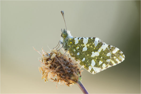 Westlicher Gesprenkelter Weißling (Euchloe crameri), Frankreich, Ardèche