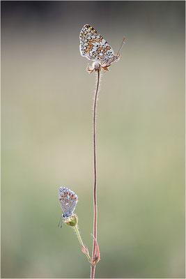 Flockenblumen-Scheckenfalter (Melitaea phoebe), Frankreich, Savoie
