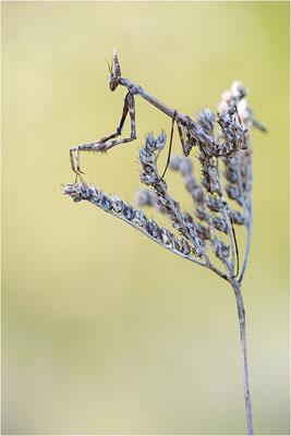 Hauben-Fangschrecke (Empusa pennata), Weibchen (subadult), Frankreich, Drôme