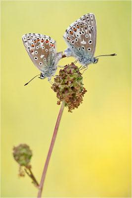 Himmelblauer Bläuling (Polyommatus bellargus), Paarung, Deutschland, Baden-Württemberg