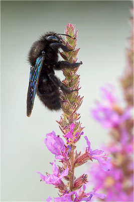 Violette Holzbiene (Xylocopa violacea), Männchen, Frankreich, Drôme