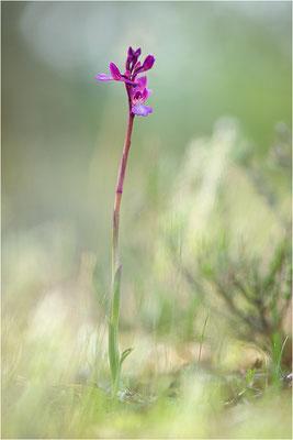 Anacamptis ×gennarii - Hybride aus Schmetterlings-Knabenkraut (Anacamptis papilionacea) und Kleinem Knabenkraut (Anacamptis morio picta),, Dep. Var, Frankreich