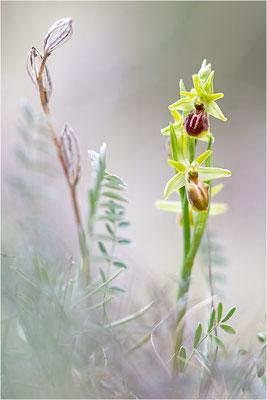 Ophrys exaltata (?)