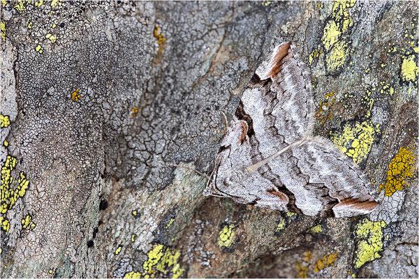 Bergheiden-Johanniskrautspanner (Aplocera praeformata), Frankreich, Dep. Savoie