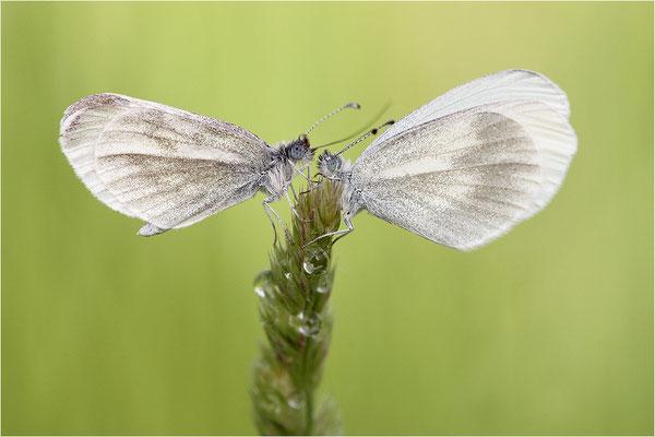 Tintenfleck-Weißling (Leptidea sinapis bzw. juvernica), links Männchen, rechts Weibchen, Deutschland, Baden-Württemberg