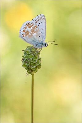 Silbergrüner Bläuling (Polyommatus coridon), Männchen, Schweiz, Wallis