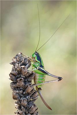 Grüne Strauchschrecke (Eupholidoptera chabrieri), Frankreich, Drôme