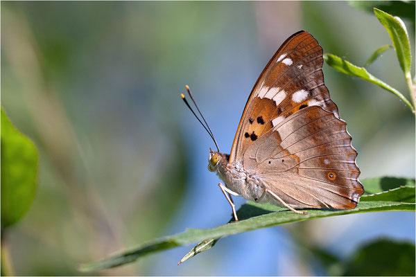 Kleiner Schillerfalter (Apatura ilia), Männchen, Deutschland, Baden-Württemberg