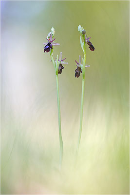 Ophrys x royanensis (=drumana x insectifera), Drôme