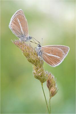 Weißdolch-Bläuling (Polyommatus damon), Männchen, Schweiz, Wallis