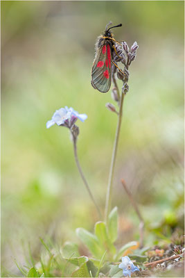Alpen-Widderchen (Zygaena exulans), Weibchen, Italien, Region Aostatal, 2600m