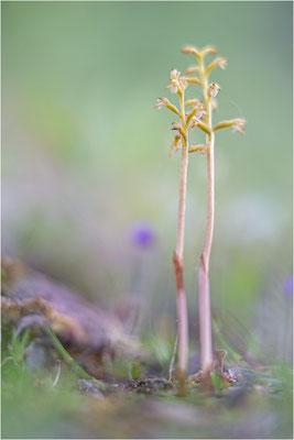 Korallenwurz (Corallorhiza trifida), Schweden, Norrbotten
