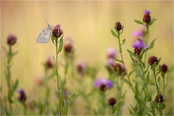 Schachbrettfalter (Melanargia galathea f. leucomelas), Weibchen, Frankreich, Ardèche