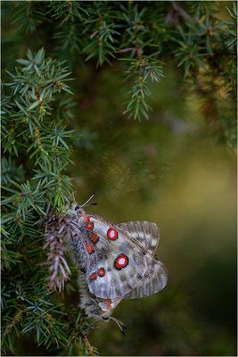Roter Apollo (Parnassius apollo linnei), Schweden, Gotland