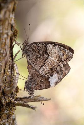 Großer Waldportier (Hipparchia fagi), Paarung, Frankreich, Drôme