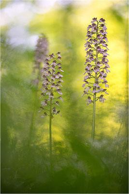 Purpur-Knabenkraut (Orchis purpurea), Deutschland, Baden-Württemberg