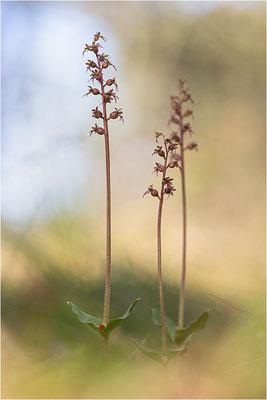 Kleines Zweiblatt (Listera cordata), Gotland, Schweden