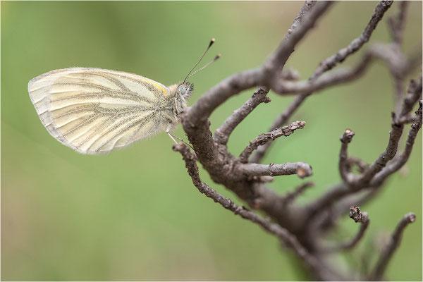 Grünader-Weißling (Pieris napi), Weibchen, Schweiz, Wallis