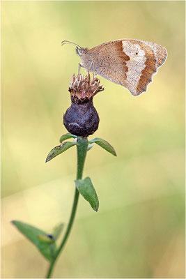Großes Ochsenauge (Maniola jurtina), Weibchen, Deutschland, Baden-Württemberg