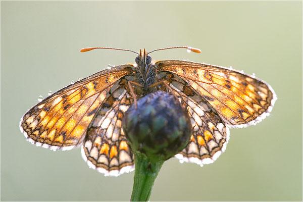 Östlicher Scheckenfalter (Melitaea britomartis), Deutschland, Bayern