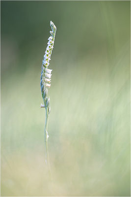 Herbst-Drehwurz (Spiranthes spiralis), Frankreich, Alsace